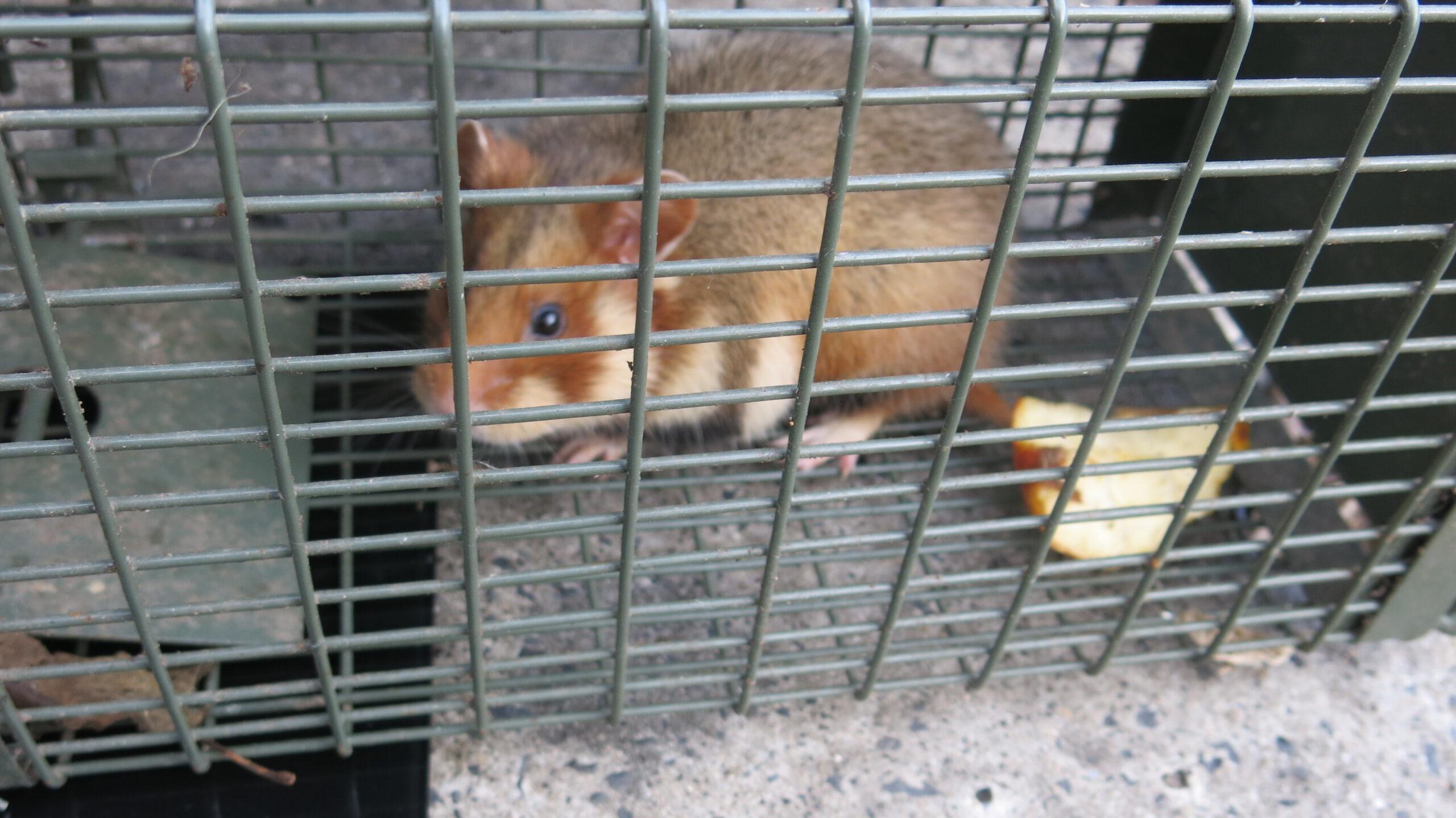 Feldhamster gefunden und in der Falle sitzend.